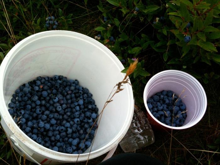 Gallon of blueberries